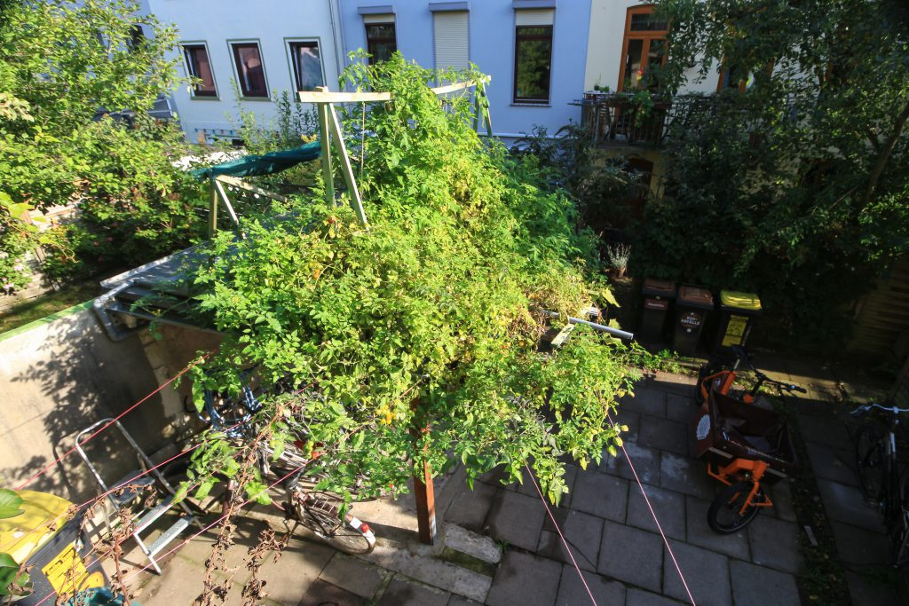 Tomaten_Aquaponik_Watertuun_Hinterhof