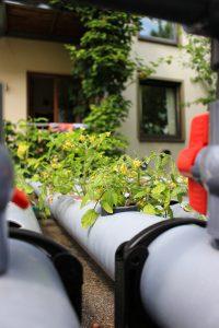 Tomatenpflanzen_Aquaponik_Hinterhof_Watertuun