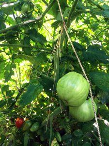 Tomaten_Pflanze_Watertuun_Aquaponik