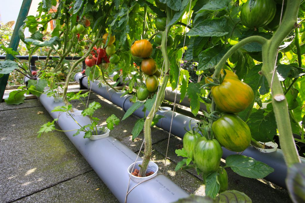 Tomaten_Aquaponik_NFT_Hinterhof_Watertuun