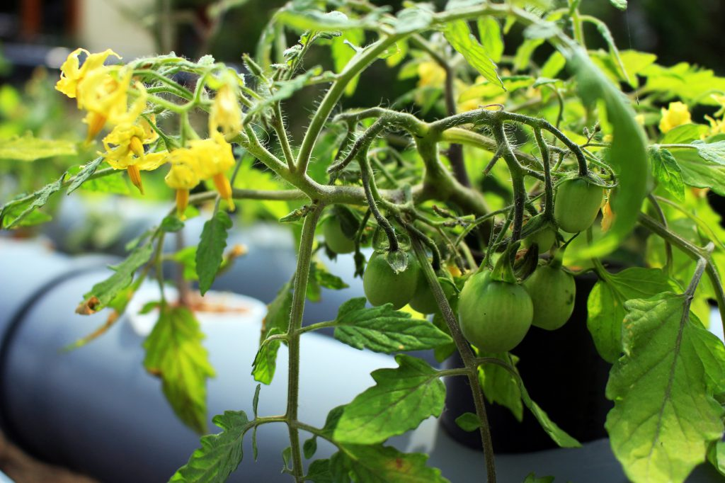 Tomatenblüte_Watertuun_Aquaponik